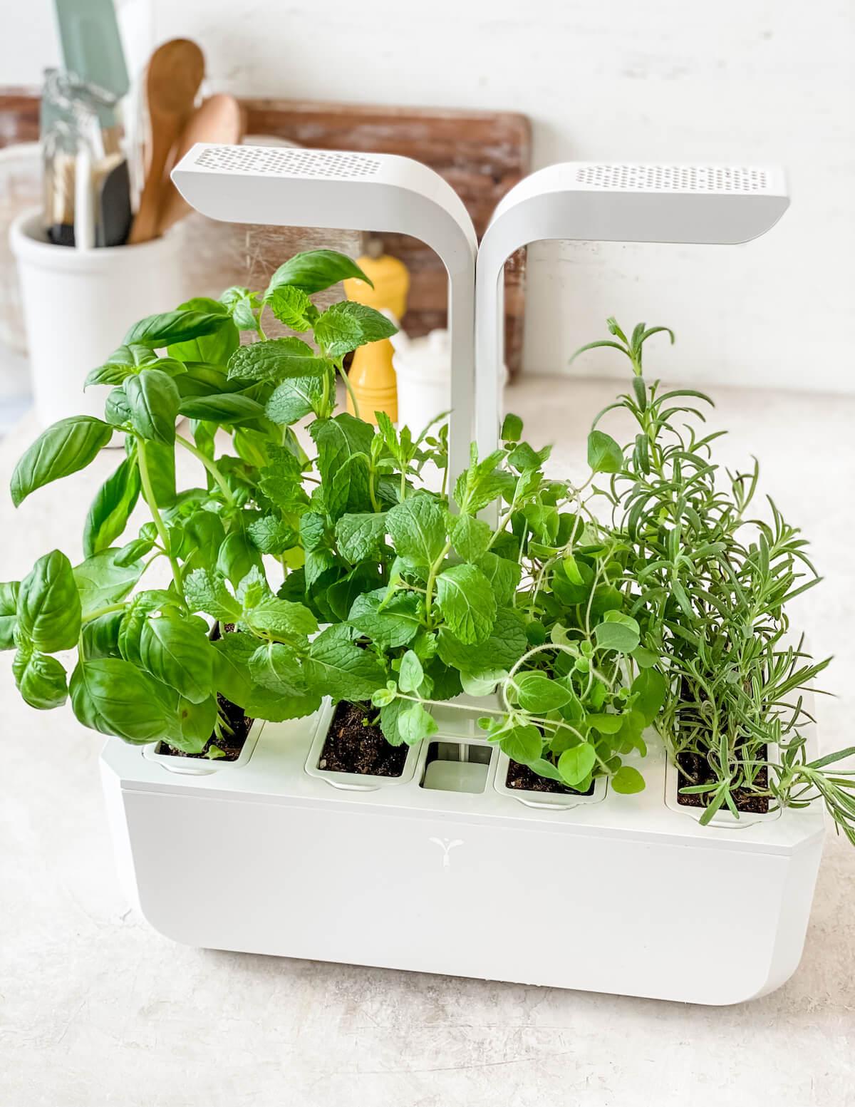 herbs growing in an indoor garden